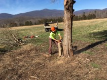 022017-cutting-a-notch-then-cutting-down-a-cedar-tree-at-sfa